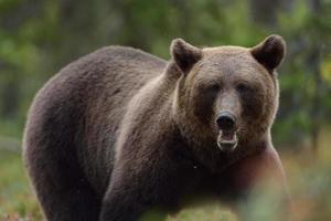 portrait de l'ours brun photo
