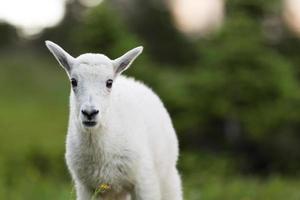 bébé chèvre de montagne photo