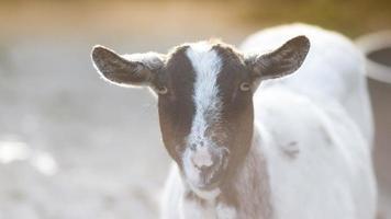 chèvre heureuse photo