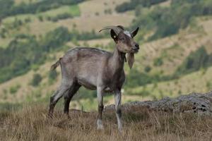 chèvre brune photo