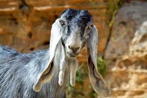 chèvre aux longues oreilles