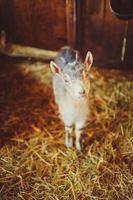 petite chèvre enfant lève les yeux