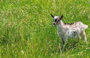 chèvre dans le pré