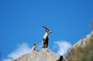 chèvres sur les rochers photo