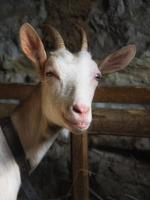 chèvre blanche photo
