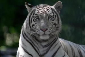 tigre du Bengale blanc photo