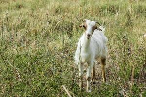 chèvre sur le pré photo