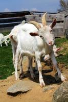 chèvre mâle