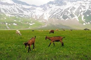chèvres paissant dans la prairie alpine photo