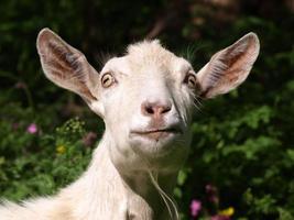 chèvre photo