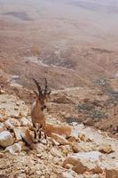 chèvre sur pente rocheuse photo