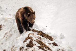 ours isolé marchant sur la neige photo