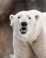 ours polaire dans la neige photo