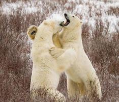 combat d'ours polaires photo