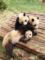 Panda géant photo
