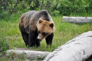 grizzli, alaska photo