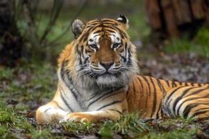 tigre de l'amour photo