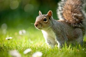 écureuil gris ensoleillé