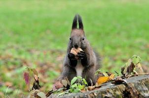 écureuil. automne, novembre. photo