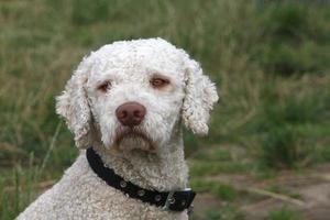 chien d'eau espagnol photo