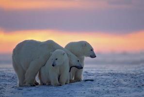 ours polaire avec oursons (voir les autres dans mon portfolio ou lightbox) photo