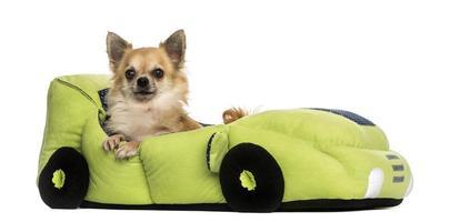 Chihuahua dans un lit en forme de voiture, isolé sur blanc