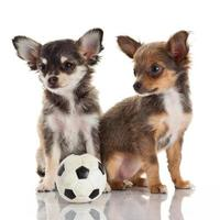 deux chiots chihuahua. photo