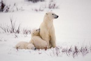 ours polaire et oursons (voir plus dans mon portfolio / lightbox) photo