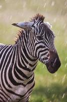 Zèbre des plaines africaines sur les savanes brunes de la savane brune photo
