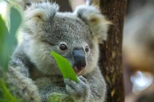 bébé koala photo
