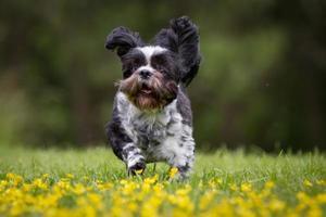 chien bichon havanais à l'extérieur dans la nature