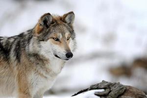 loup gris mexicain photo