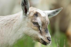 chèvre alpine photo