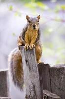 écureuil renard