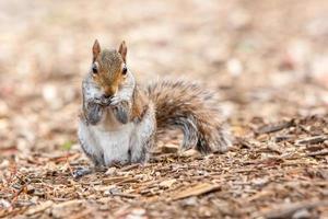 écureuil mangeant