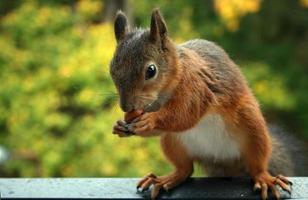 écureuil mangeant photo