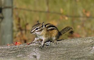 petit écureuil terrestre tamia
