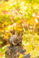 écureuil hokkaido photo