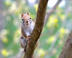 écureuil roux au printemps