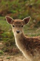 jeune cerf