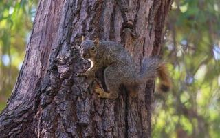 écureuil renard dans un arbre