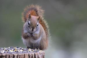 écureuil mangeant des graines
