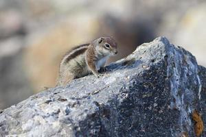 écureuil terrestre barbary (atlantoxerus getulus)