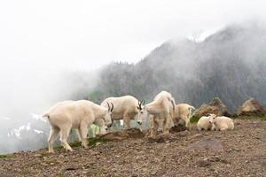 troupeau de chèvres de montagne photo