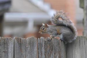 écureuil de quartier intimité clôture photo