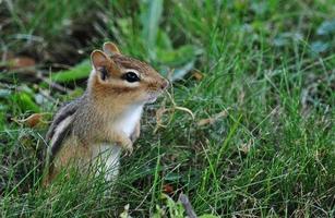 curieux et alerte - tamia dans l'herbe