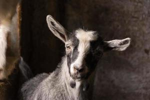 chèvre noir et blanc photo