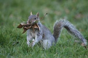 écureuil gris, sciurus carolinensis