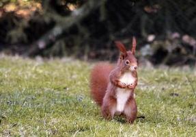 écureuil sur prairie photo