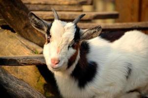 chèvre en regardant la caméra